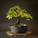 Bonsai | fotografie
